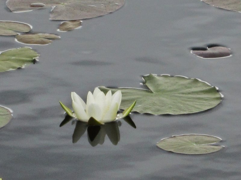 Rock Climbing Photo: Water Lily
