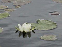 Rock Climbing Photo: Water Lily