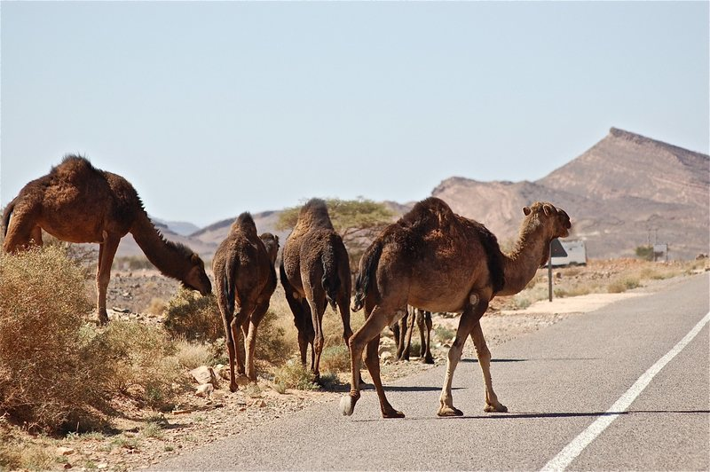 Rock Climbing Photo: Camels