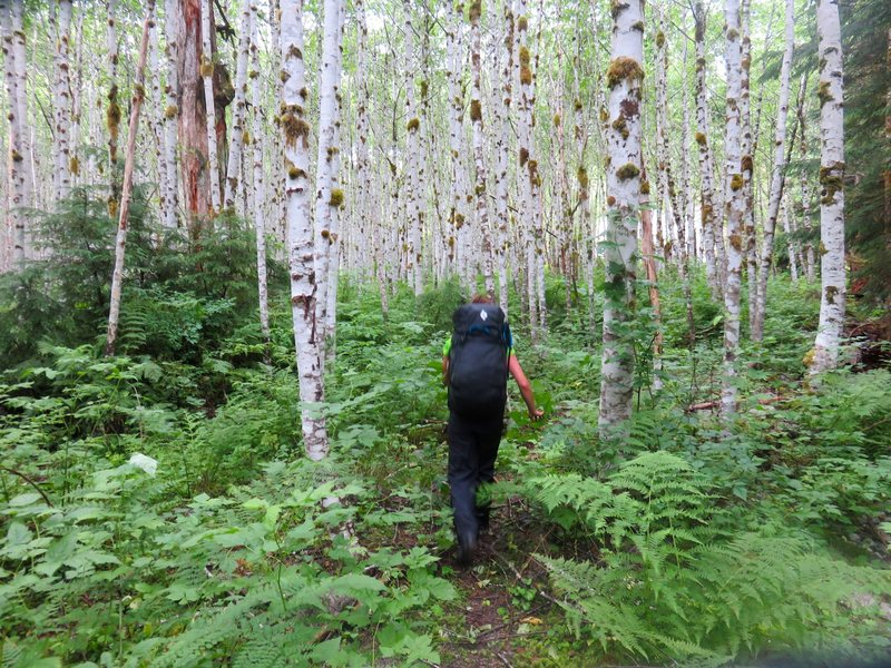 Rock Climbing Photo: Alders at the base of the washout, just after you ...