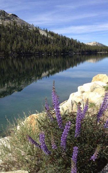 Lupine @ Tenaya Lake, Toulumne Meadows