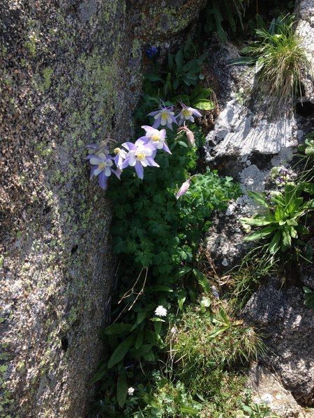 Rock Climbing Photo: Columbines near P1.