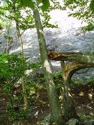 """Rock Climbing Photo: """"Landmark"""" broken tree just below the ba..."""