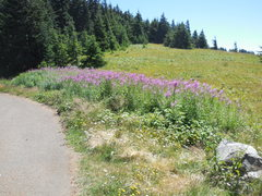 Rock Climbing Photo: Wildflowers on the road to Mary's Peak.