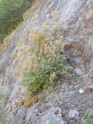 Rock Climbing Photo: The Holodiscus or Oceanspray  bush on the shelf le...