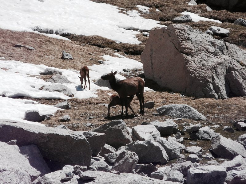 Rock Climbing Photo: Cow elk with calves. RMNP.