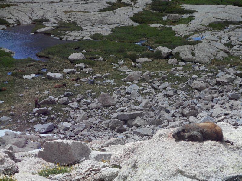 Marmot and elk. RMNP.