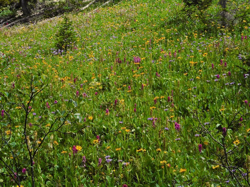Wildflower display near Snowmass lake.