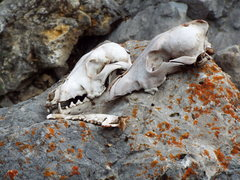Rock Climbing Photo: True men don't kill coyotes.