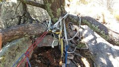 Rock Climbing Photo: The South Face rappel off of the big tree. Tat nes...