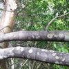 Caribbean black Poyson wood