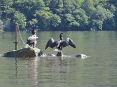 Rock Climbing Photo: Cormorants on Derwentwater ..Borrowdale