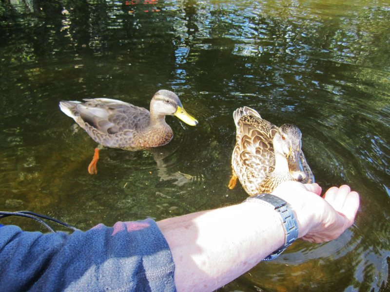 Rock Climbing Photo: Hand feeding Mallard ducks Derwentwater