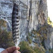 Peregrine falcon feather at the main ledge