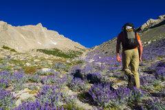 Rock Climbing Photo: Approaching Humphreys in a sea of purple