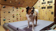 Rock Climbing Photo: Ragne (Rags). Our rescued collie mix.