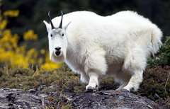 Rock Climbing Photo: goats yah