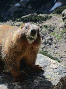 Rock Climbing Photo: Curious marmot on La Petit Grepon
