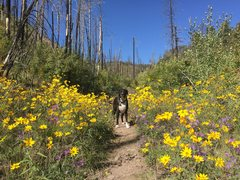 Rock Climbing Photo: Happy dog in the wildflowers