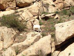 Rock Climbing Photo: Bandy, The Rogue Goat.