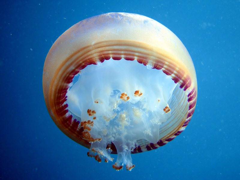Looking up at a Jellyfish while freediving in Thailand.