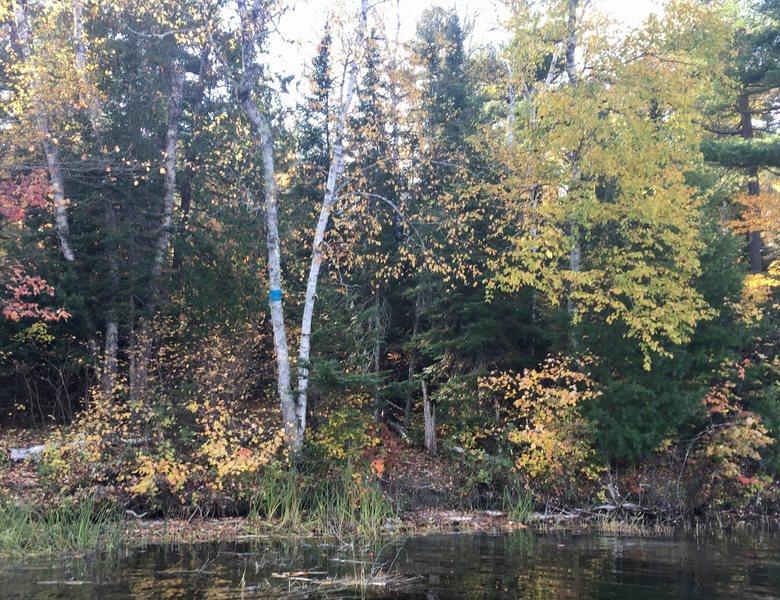 Rock Climbing Photo: Notice the blue wrap around the birch tree. The tr...