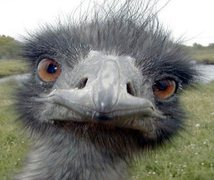 angry ostrich power