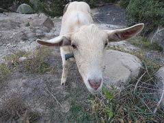 Rock Climbing Photo: If you happen upon this goat, give her some celery...