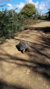 Rock Climbing Photo: Big turtle of the Caribbean