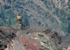 Rock Climbing Photo: Peregrine