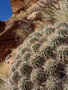 Rock Climbing Photo: Echinocereus coccineus?