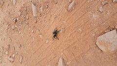 Bridger Jacks Tarantula