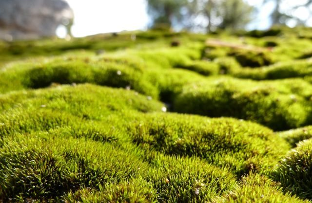 Rock Climbing Photo: Vibrant moss on boulder, Running Springs Area