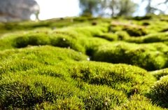 Rock Climbing Photo: Vibrant moss on boulder, Running Springs Area