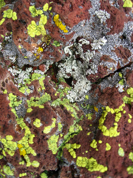 Lichens on basaltic andesite, SP crater. October 2010