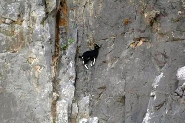 This goat climbers harder than me