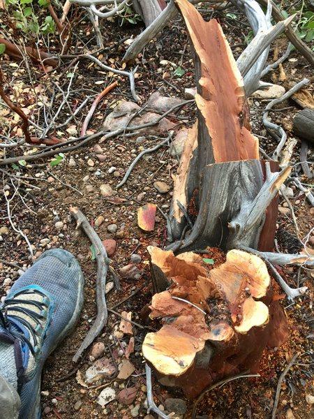 Rock Climbing Photo: A super mountain mahogany tree destroyed at the ba...