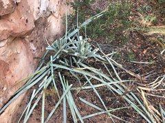Rock Climbing Photo: yucca bacatta