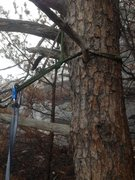 Rock Climbing Photo: Rappel tree with double cordelette.