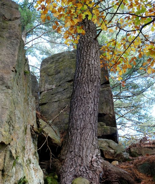 Bark back is on the boulder in front of the tree.