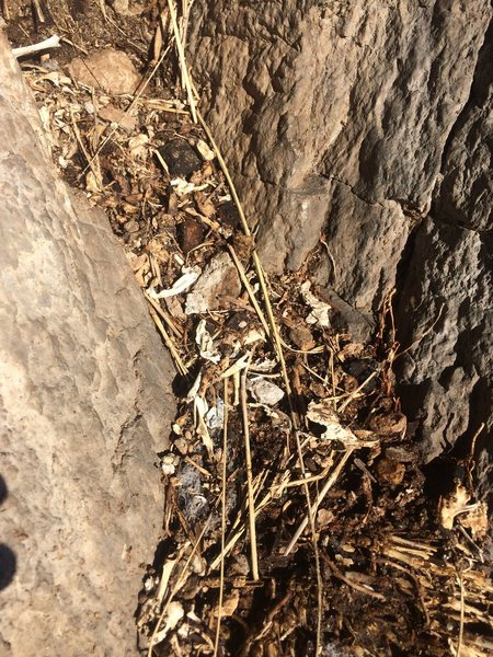 Rock Climbing Photo: One of the many piles of rodent bones. The wall is...