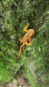 Rock Climbing Photo: Newt at Sumersville, NRG