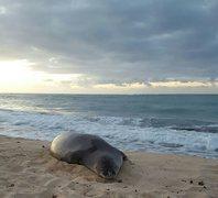 Rock Climbing Photo: Monk Seal at Oahu.