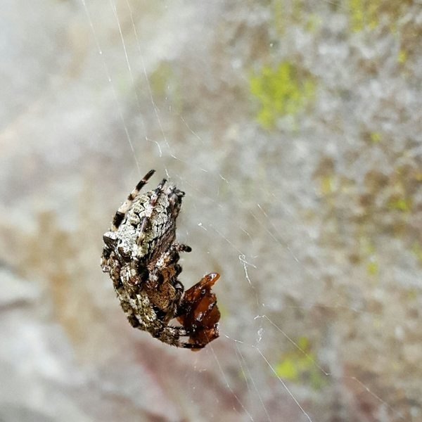 Arachnid at Lower Meadow, NRG.