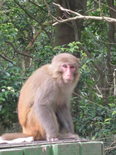 Rock Climbing Photo: Monkeys are common around Lion Rock and Beacon Hil...