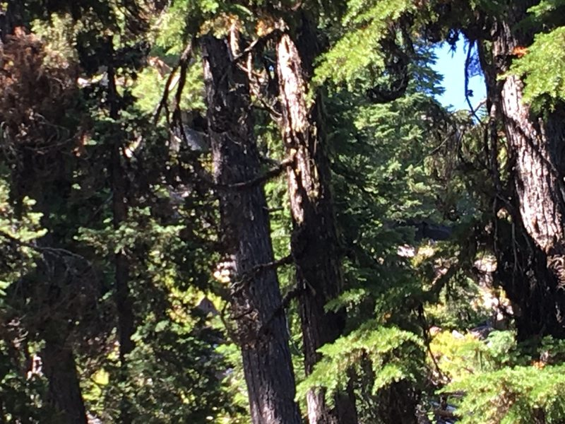 Mountain lion near Mount Bailey.