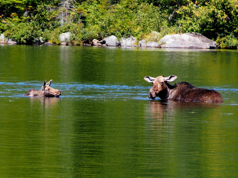 """Mom"" Moose and ""baby"" - Sandy Brook pond, Labor Day 2015"