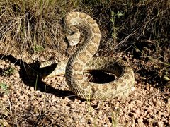Rock Climbing Photo: Prairie rattler