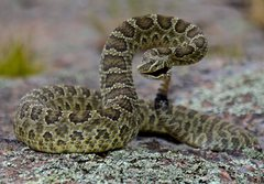 Rock Climbing Photo: This prairie rattler was right at the top of the c...