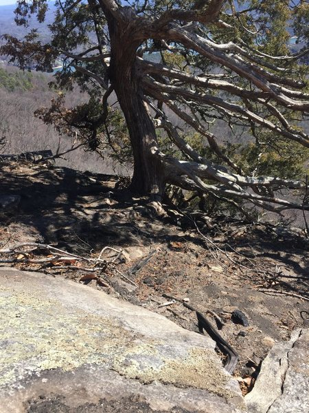 Juniper Tree at ignition point of the Party Rock Fire.